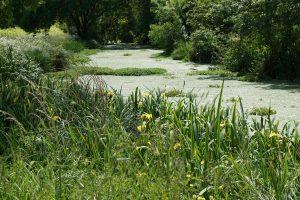 iris et canal du moulin