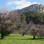 almond trees in flower / fleurs d'amandier